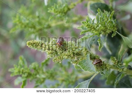 Close Up Of Colorado Potato Striped Beetle - Leptinotarsa Decemlineata, Serious Pest Of Potatoes Pla