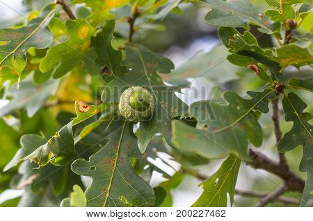 Oak Branch With Green Leaves And Acorns On A Sunny Day. Oak Tree In Summer. Blurred Leaf Background
