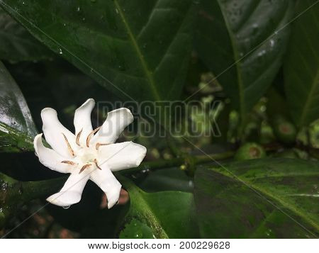 Liberian coffee tree with flower and leaf from Angola Africa