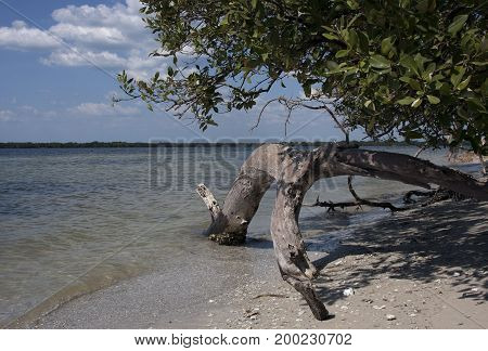Mangrove tree and driftwood grace the shores of the Manatee River in Bradenton, Florida