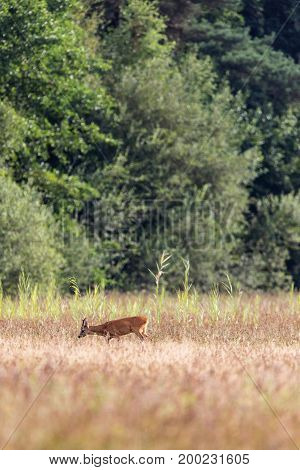 Roe deer buck grazing in field near bushes
