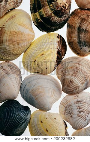 Set Of Conch Mollusc Shells Isolated On White