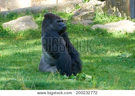 thoughtful Gorilla during feeding in a zoo