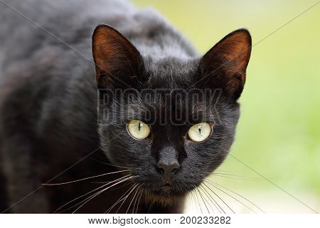portrait of beautiful black domestic cat with green eyes