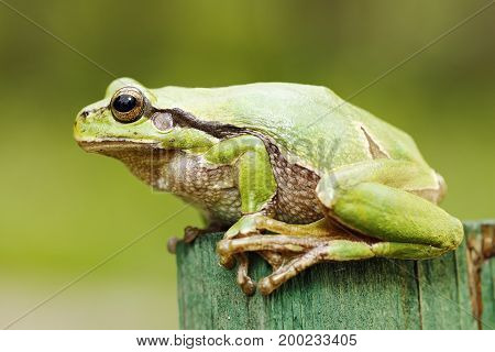 beautiful green tree frog close-up ( Hyla arborea ) full length wild amphibian
