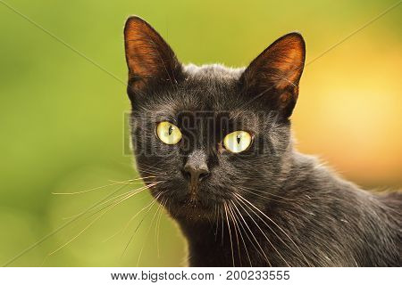 black cat face portrait of beautiful domestic animal looking at the camera
