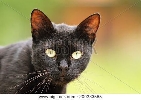 black cat portrait with big green eyes domestic animal looking at the camera with out of focus background