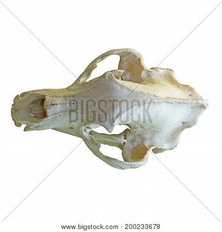 brown bear isolated cranium white background ( Ursus arctos )
