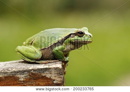 colorful tree frog standing on piece of wood green out of focus background ( Hyla arborea )