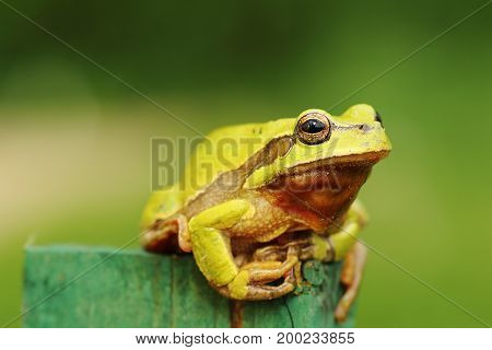 cute green tree frog standing on a piece of wood ( Hyla arborea )