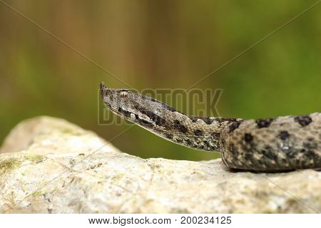 european venomous adder creeping on stone ( Vipera ammodytes )