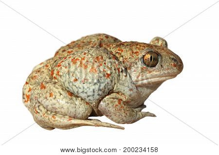 mottled garlic toad isolated on white background cut out animal ready for your design ( Pelobates fuscus )