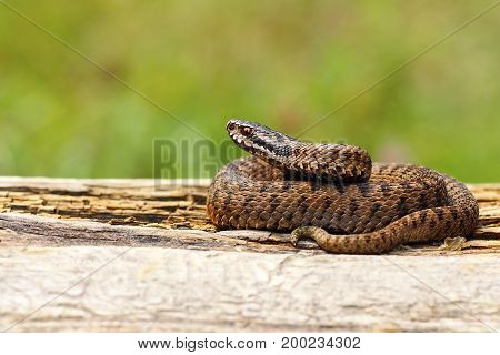 juvenile Vipera berus basking on wooden plank ( The venomous common crossed european adder )