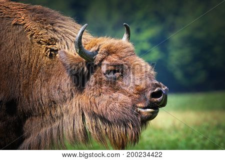 large male european bison portrait ( Bison bonasus )