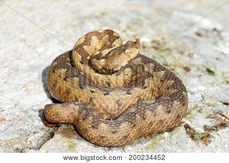 female wild nose horned adder on rock ( Vipera ammodytes one of the most toxic snakes from Europe )