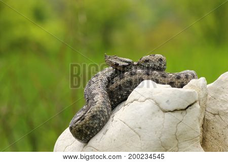 sand viper basking in natural habitat on limestone rock ( Vipera ammodytes )