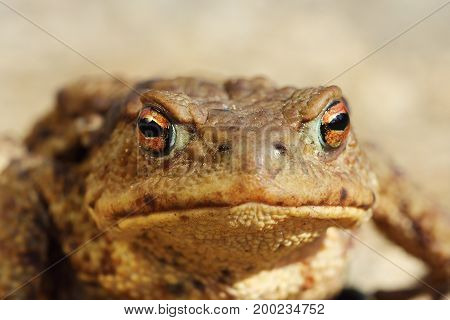 ugly common toad portrait looking at the camera macro image ( Bufo )