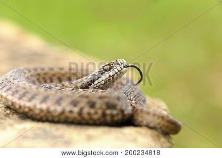 young meadow viper in aggressive position ( Vipera ursinii rakosiensis )