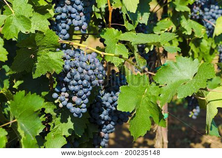 View of red wine grapes and green leaves in the vineyard behind the sun here in South Moravia