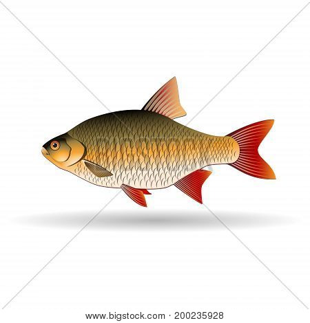 Rudd. Freshwater fish of carp family. Realistic illustration. Vector Image