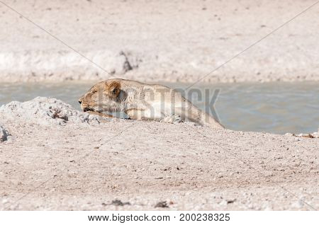 An African Lioness Panthera leo sleeping at a waterhole in Northern Namibia