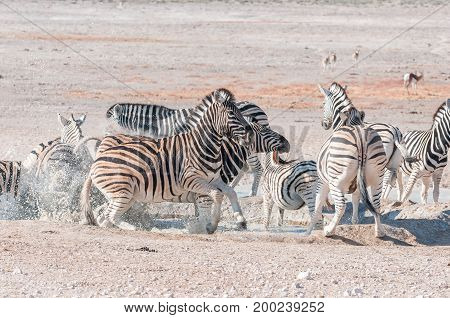 Frightened Burchells Zebras (Equus quagga burchellii) at a waterhole in Northern Namibia