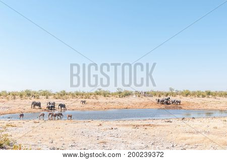 Herds of greater kudus and elephants drinking water at a waterhole in Northern Namibia.