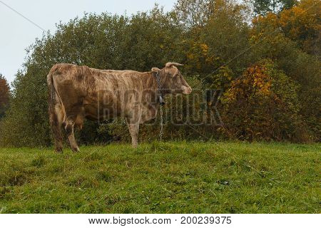 Cow and a bell graze in a meadow. Animals