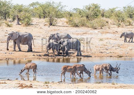 Greater kudu cows and bulls Tragelaphus strepsiceros drinking water in a waterhole in Northern Namibia. An elephant family is visible in the back