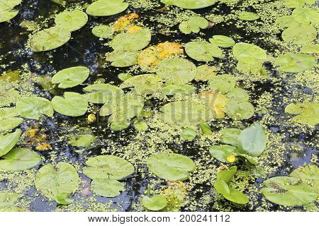 Water lilies and duckweed floating on a pond closeup