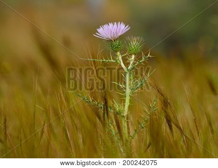 Isolated wild thistle in full bloom amidst the grasses