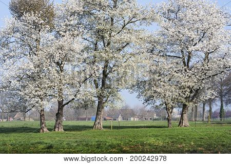 Blooming trees in Netherlands. Spring tree flowers on green gras field.