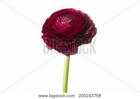 Red Persian buttercup flower isolated on white background