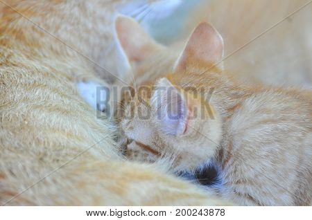 Yellow cat nursing her kittens. Cute kittens suck milk