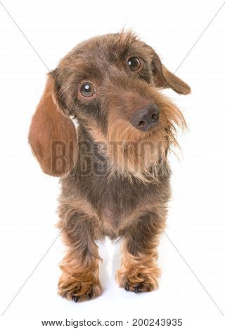 kaninchen Wire-haired Dachshund in front of white background