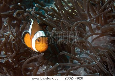 False Clownfish and Magnificent Anemone of the coast of Phuket, Thailand