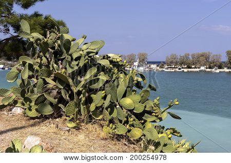 Edible cactus - prickly pear growing near the sea
