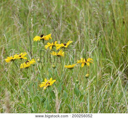 Black eyed susan flowers in a grassy field