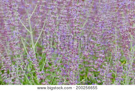 Closeup background of a sun lit lavendar field
