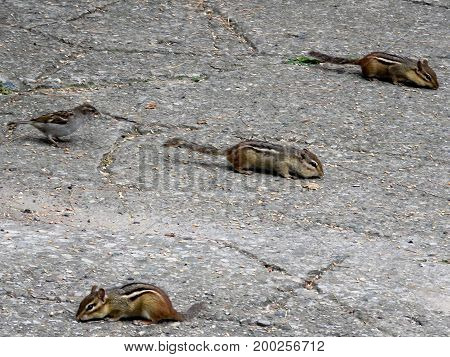 Sparrow and chipmunks in High Park of Toronto Canada July 26 2017