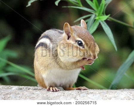 The chipmunk in High Park of Toronto Canada July 26 2017