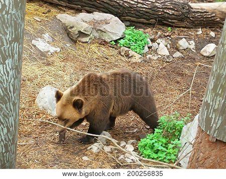 Brown bear in Skansen Park, Stockholm, Sweden