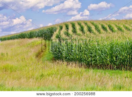 Grassy field curved rows of green corn