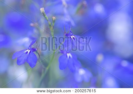 The little blue flowers of Lobelia in the flower bed. Selective focus.