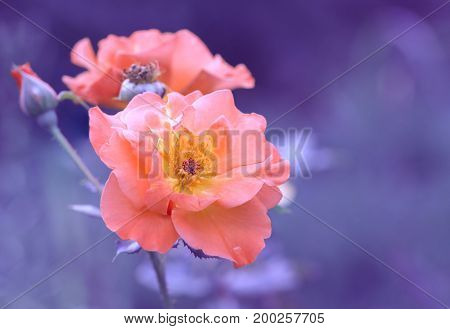 Pink roses on a painted purple background