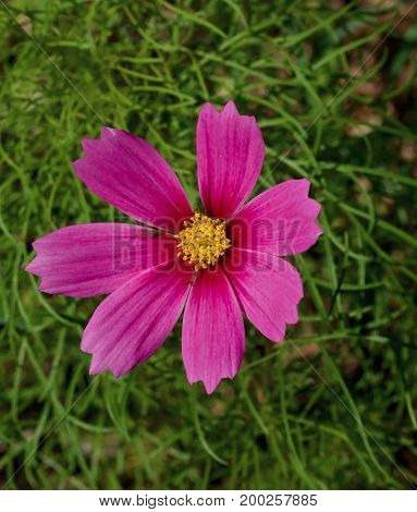Bright purple daisy against bright green foliage