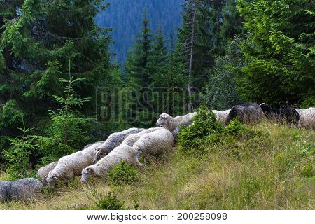Herd of sheep descends from the mountains. Spruce trees in the Ukrainian Carpathians. Sustainable ecosystem