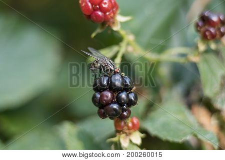 Wash fruits before eating. Fruits of wild blackberries. Ripe fruits are dark blue, unripe red and green. These are the fruit of the blackberry bush growing in the forest. Spikes are visible on the branches. On the mature fruit is eating the juice of fly.