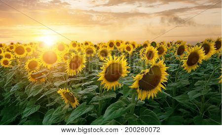 sunflower in bloom / field of Ukraine the sky at sunset