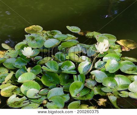 Blossoming water lilies in a green pool